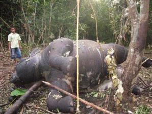 Gajah Yang Di Racun